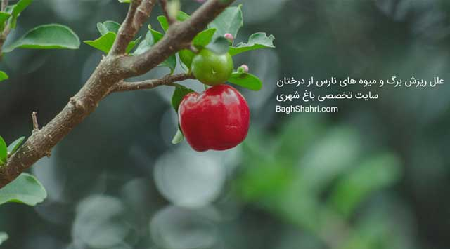 علل ریزش برگ و میوه های نارس از درخ...