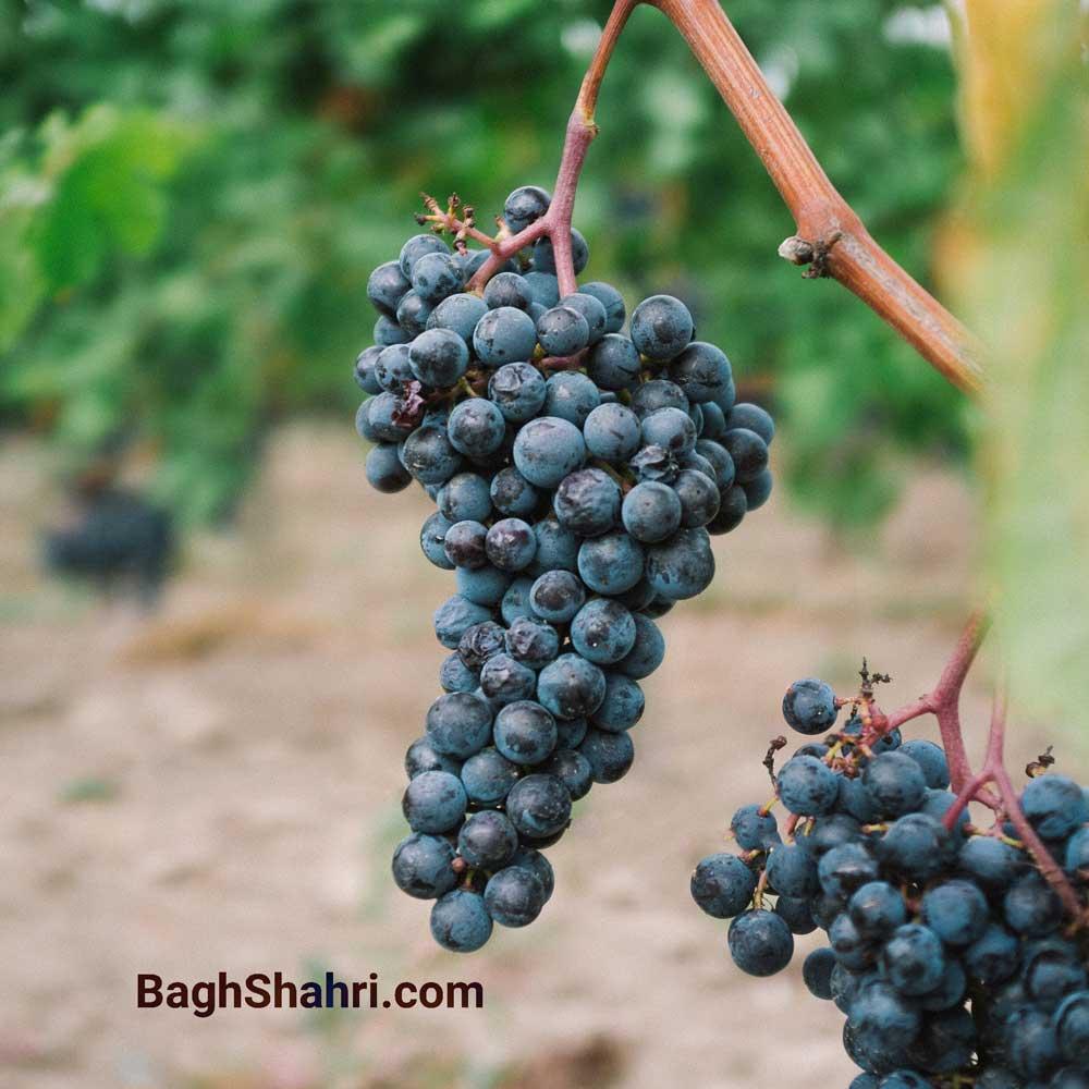 کاشت انگور چگونه انجام میشود؟